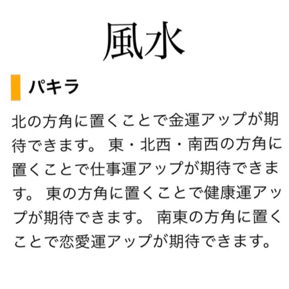 【AK】美苗 金運UP 発財樹 太幹 パキラ 抜き苗