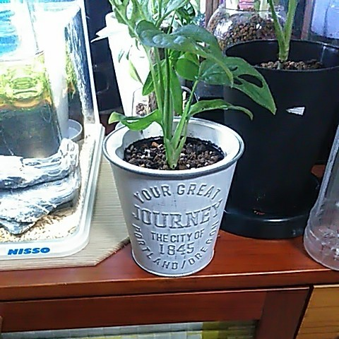 更に更に値引き週末 観葉植物 マドカズラ