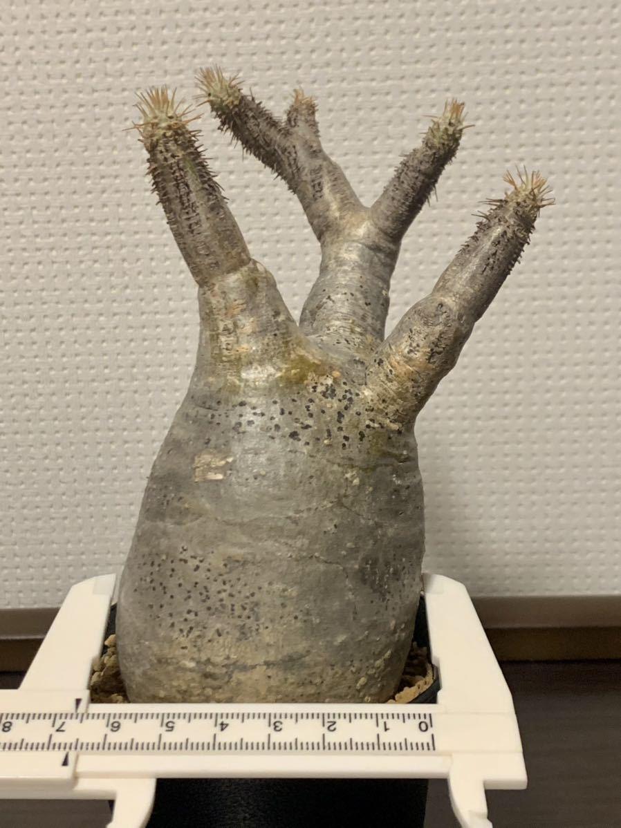特選株 パキポディウム グラキリス 激安 手乗り 超美形 現地株 発根活着済_画像8