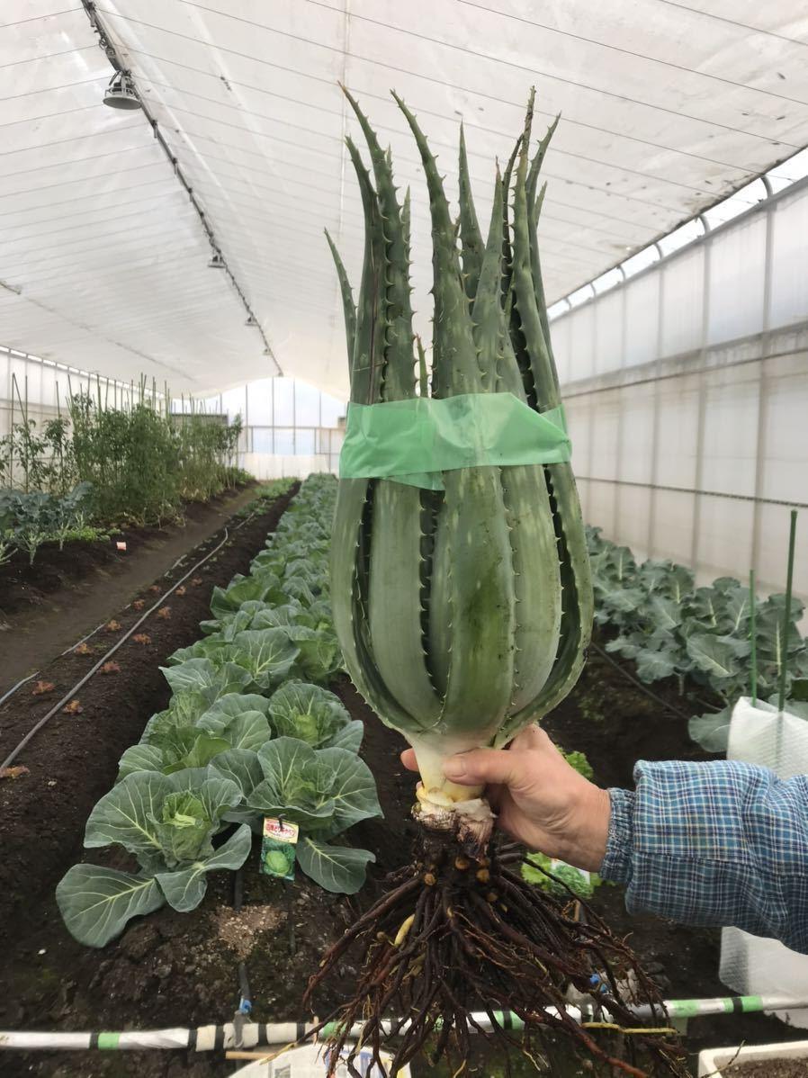 アロエベラ大株1株 45cm前後 食用アロエベラ 無農薬栽培