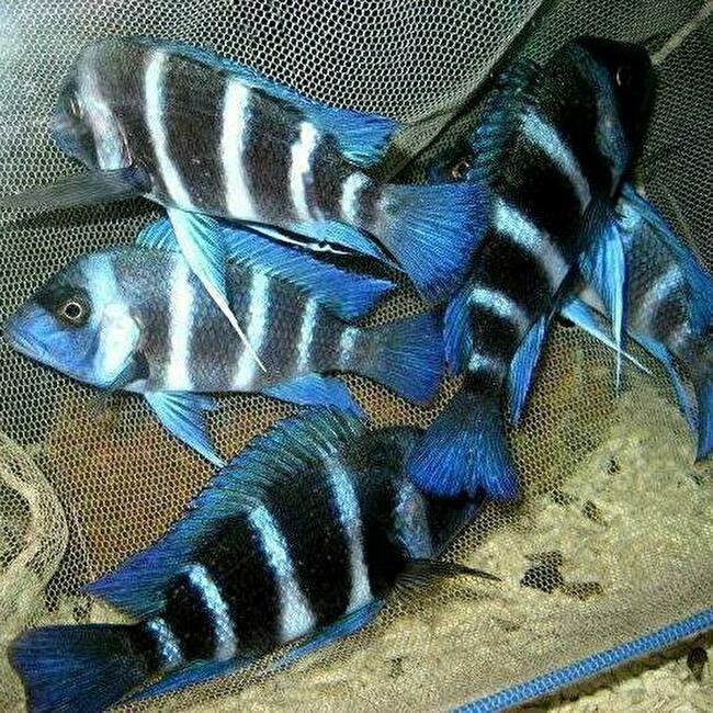 キフォティラピア ギベローサ ザイール ブルー モバ ±13cm 青 ZAIRE BLUE MOBA フロントーサ アフリカン シクリッド タンガニイカ 熱帯魚_画像3