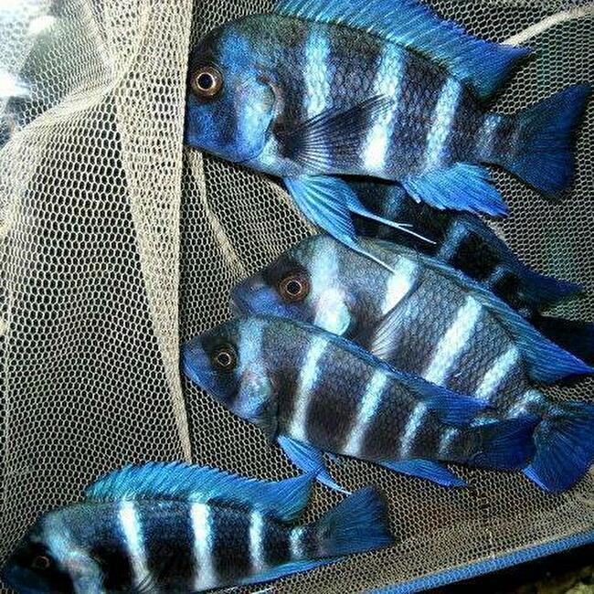 キフォティラピア ギベローサ ザイール ブルー モバ ±13cm 青 ZAIRE BLUE MOBA フロントーサ アフリカン シクリッド タンガニイカ 熱帯魚_画像2