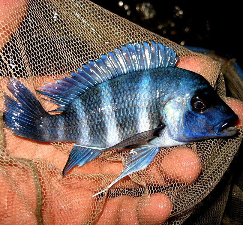 キフォティラピア ギベローサ ザイール ブルー モバ ±13cm 青 ZAIRE BLUE MOBA フロントーサ アフリカン シクリッド タンガニイカ 熱帯魚_画像1