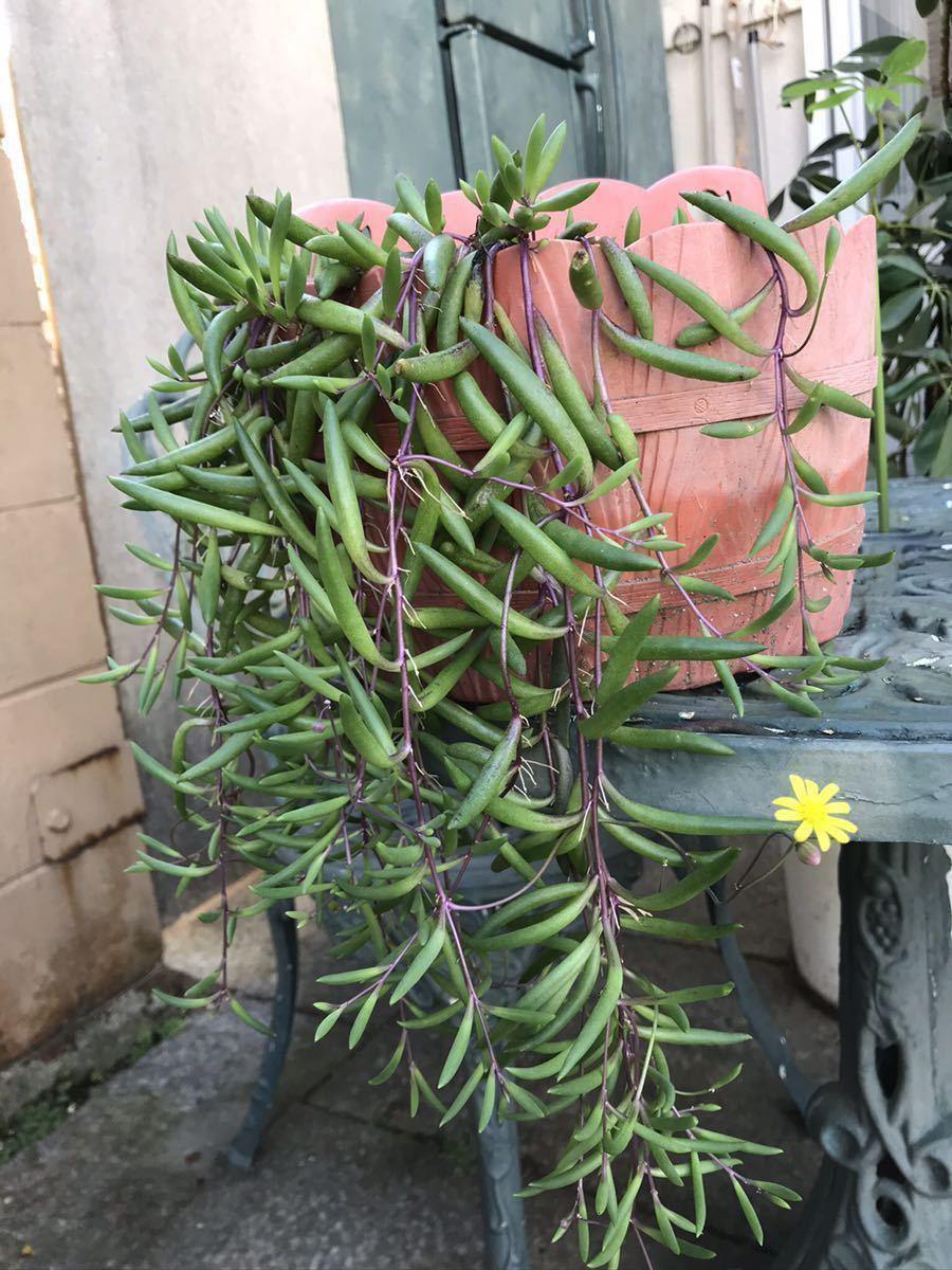 ルビーネックレス 多肉植物 ガーデニング カット苗 根付き 約60cm分 初心者向け 簡単に増える 垂れる_画像2