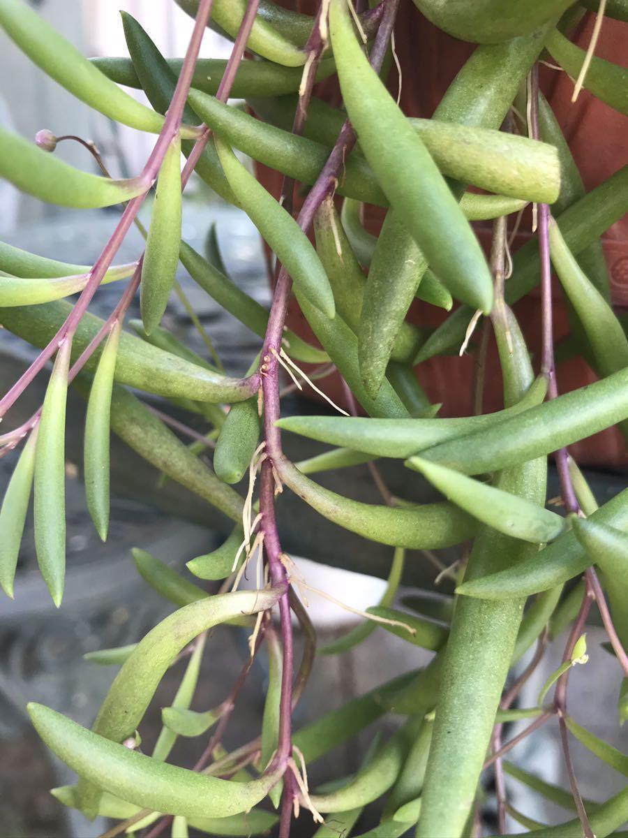 ルビーネックレス 多肉植物 ガーデニング カット苗 根付き 約60cm分 初心者向け 簡単に増える 垂れる_画像4