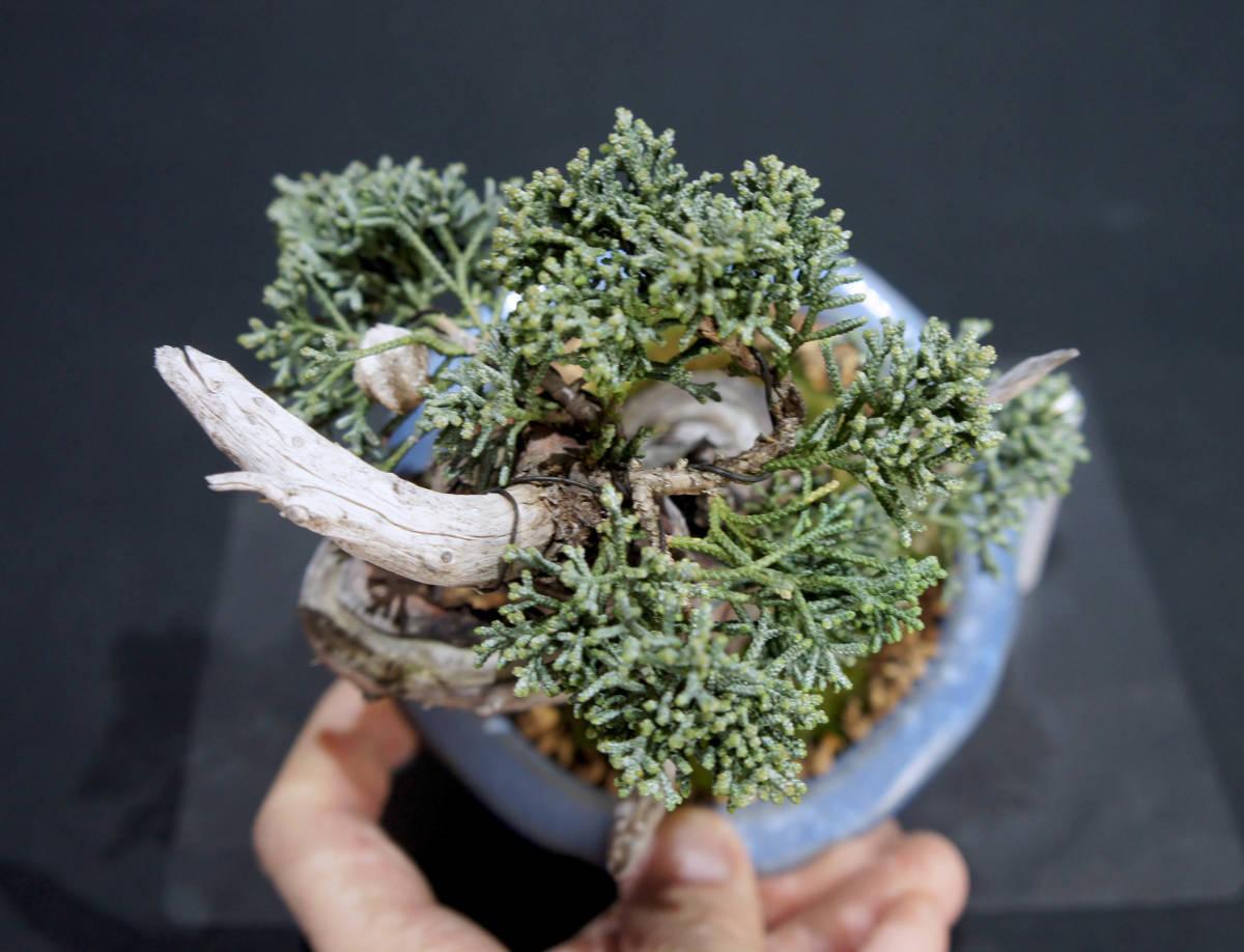 真柏 盆栽 奥行11.5cm 横幅13.5cm 高さ15cm_画像3