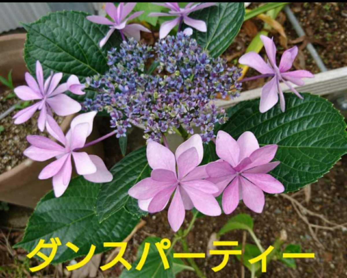 40 紫陽花 ダンスパーティー (3号ポット苗 ) _画像2