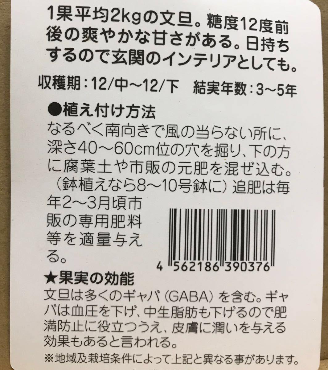 晩白柚 (ばんぺいゆ)ザボン 接木苗木_画像2