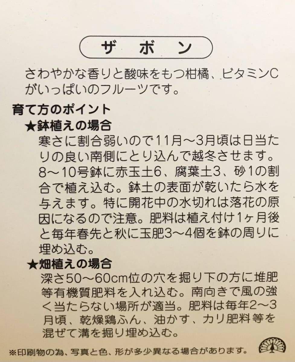 晩白柚 (ばんぺいゆ)ザボン 接木苗木_画像4