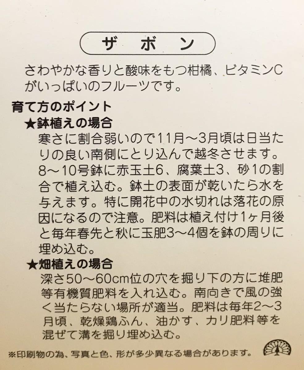 晩白柚 (ばんぺいゆ)ザボン 接木苗木_画像6