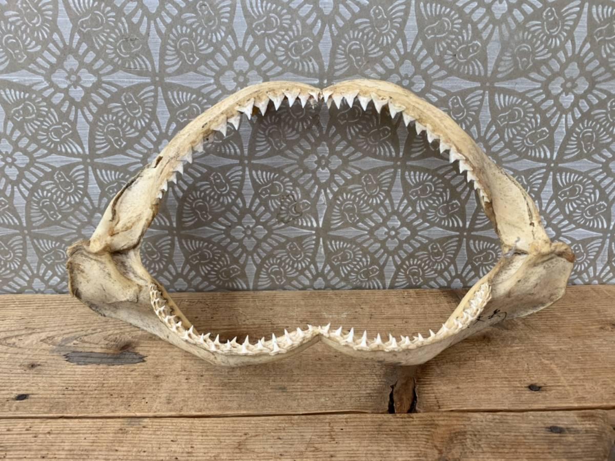鮫 歯 標本 八丈島 蔵出し_画像1