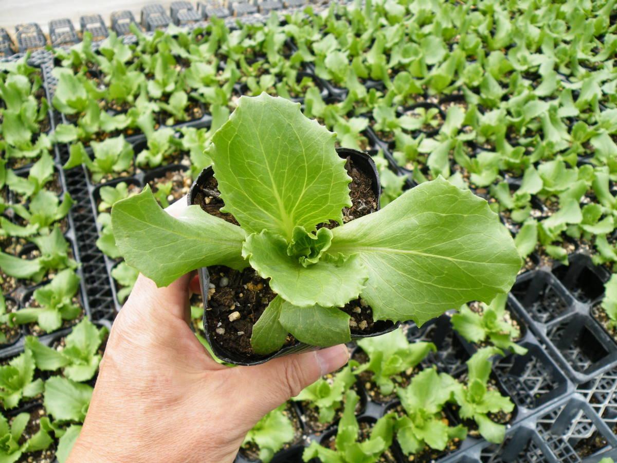 ★【農園】■レタス シスコ■野菜苗 20ポット ☆_画像6