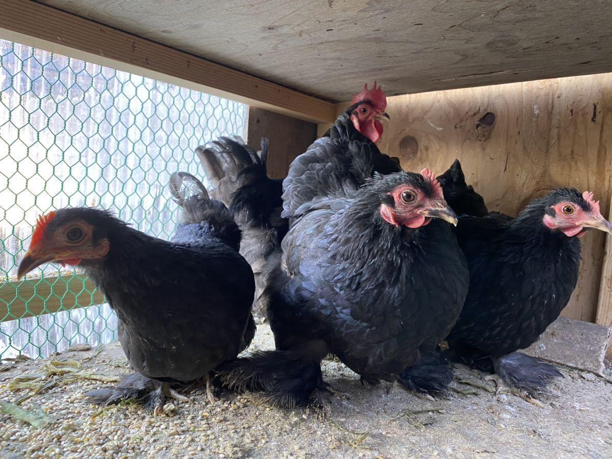 ペキンバンタム 有精卵 種卵 5個 _画像7