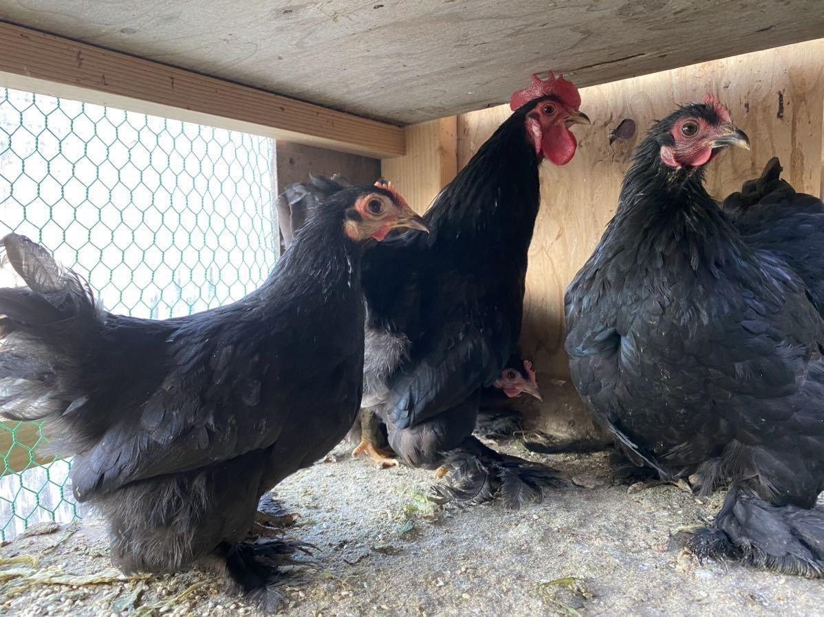ペキンバンタム 有精卵 種卵 5個 _画像8