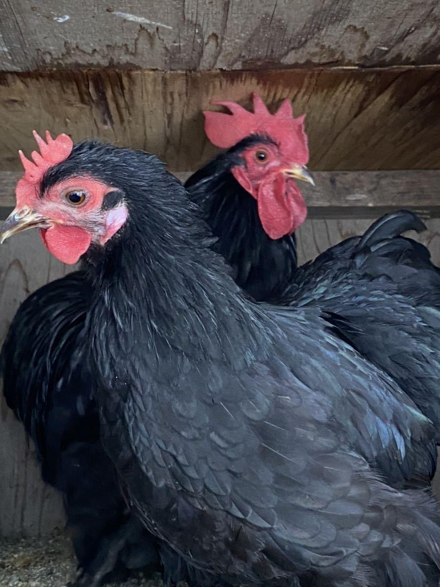 ペキンバンタム 有精卵 種卵 5個 _画像6
