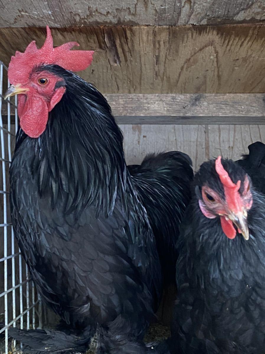 ペキンバンタム 有精卵 種卵 5個 _画像1