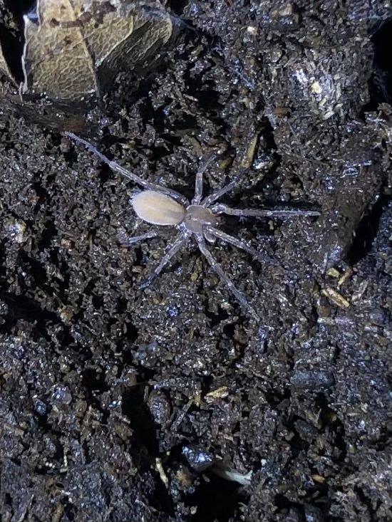 蜘蛛 1匹  ③_画像6