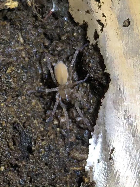蜘蛛 1匹  ③_画像5