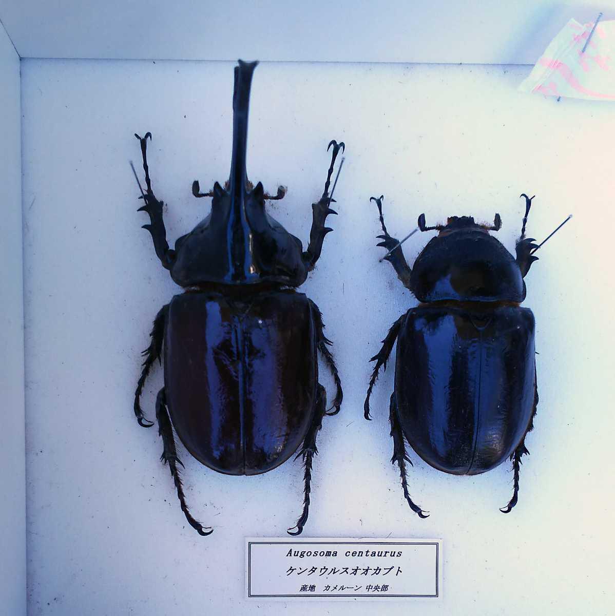 値段交渉OK 昆虫標本 カブトムシ 31頭 ドイツ箱_画像2