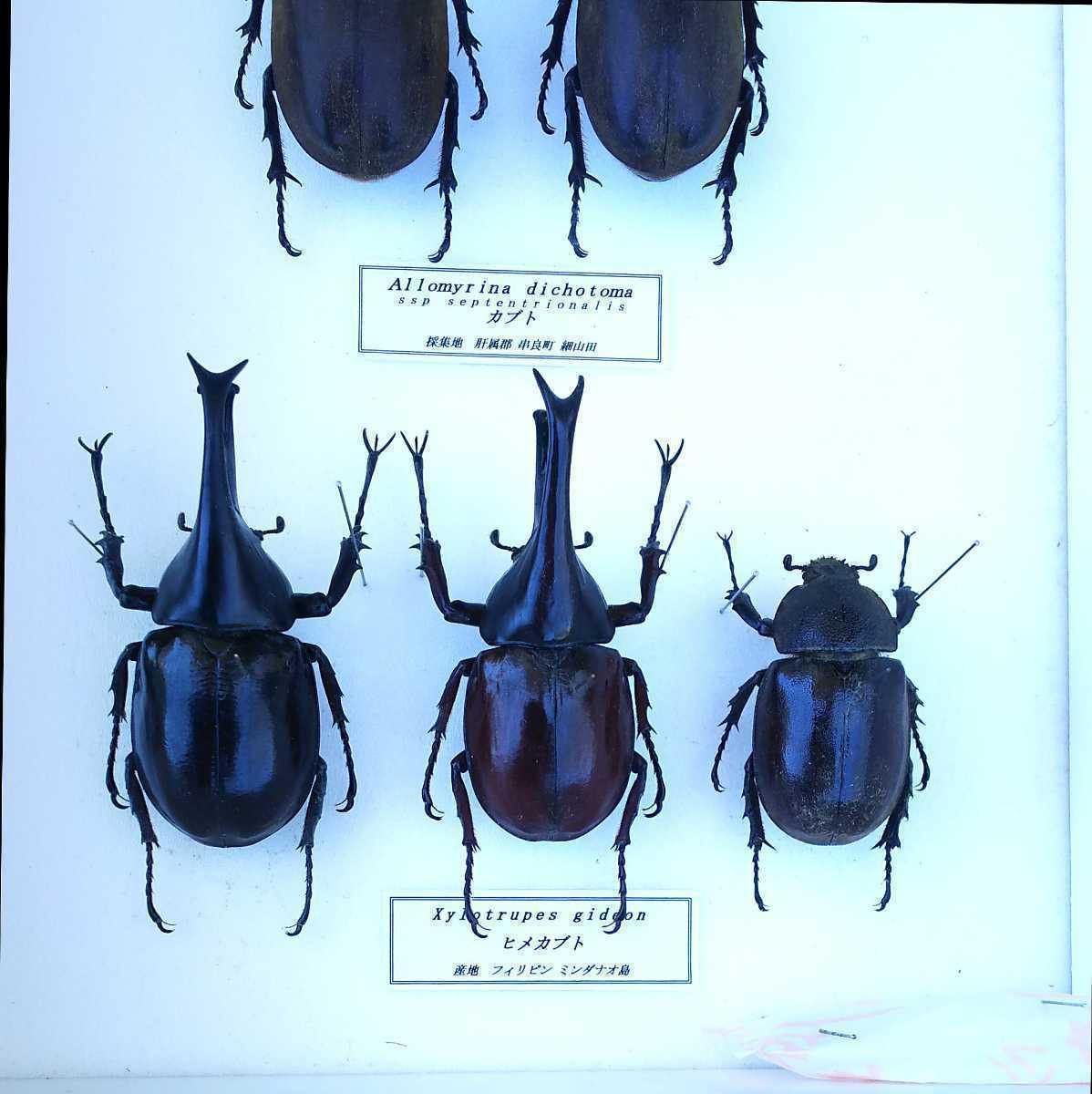 値段交渉OK 昆虫標本 カブトムシ 31頭 ドイツ箱_画像10
