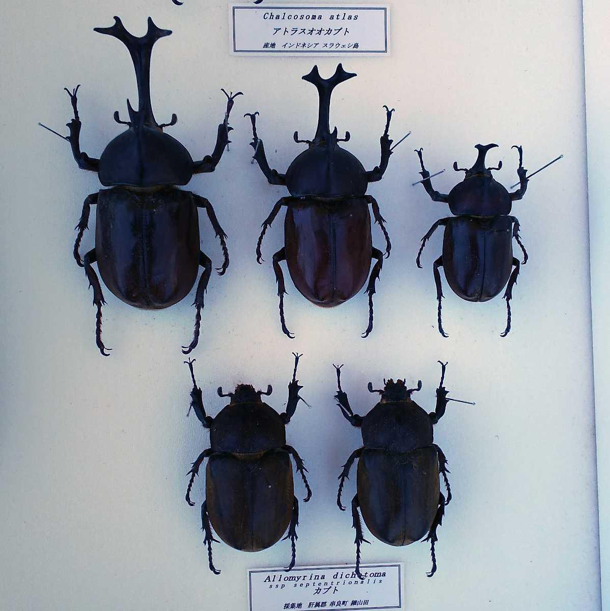 値段交渉OK 昆虫標本 カブトムシ 31頭 ドイツ箱_画像7