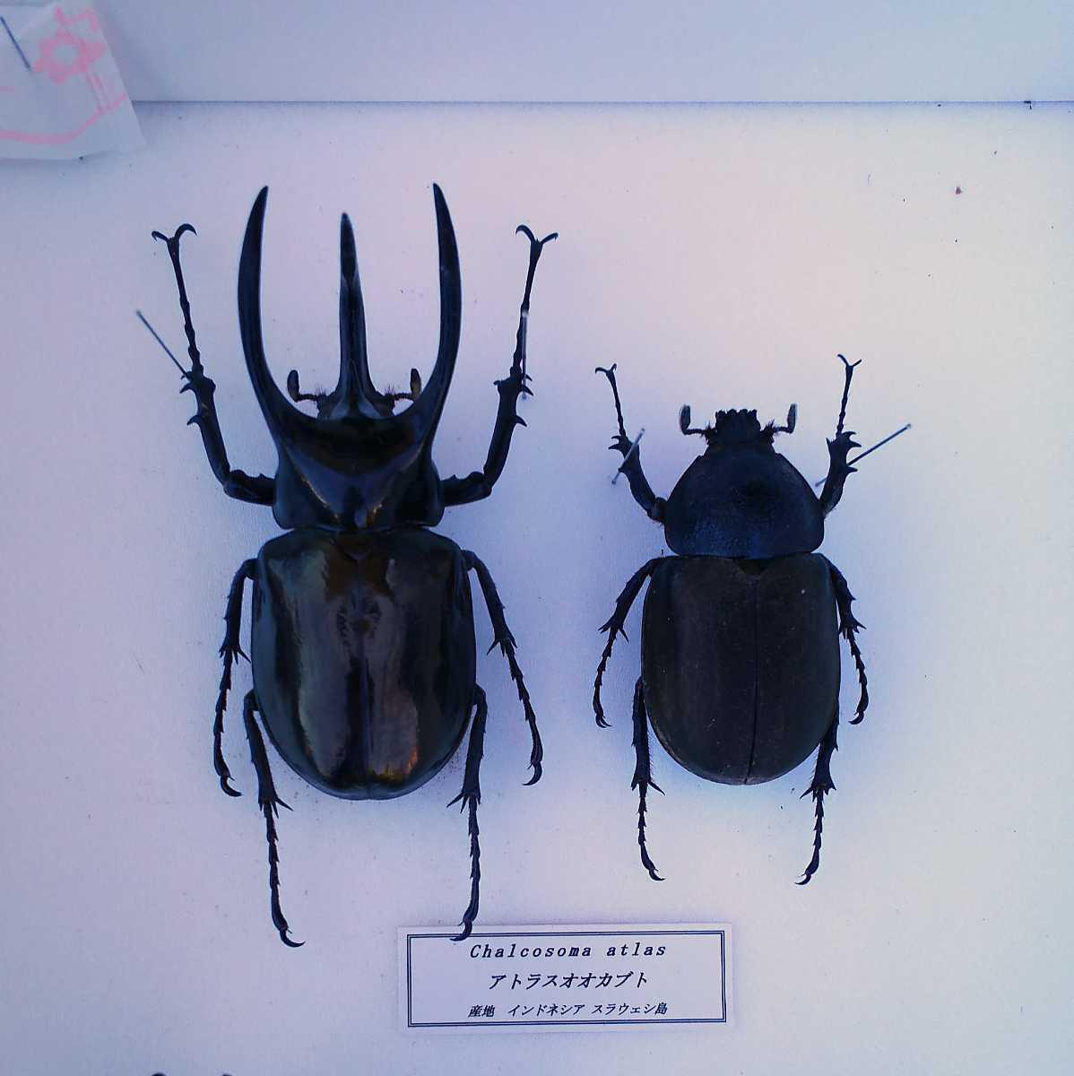 値段交渉OK 昆虫標本 カブトムシ 31頭 ドイツ箱_画像4