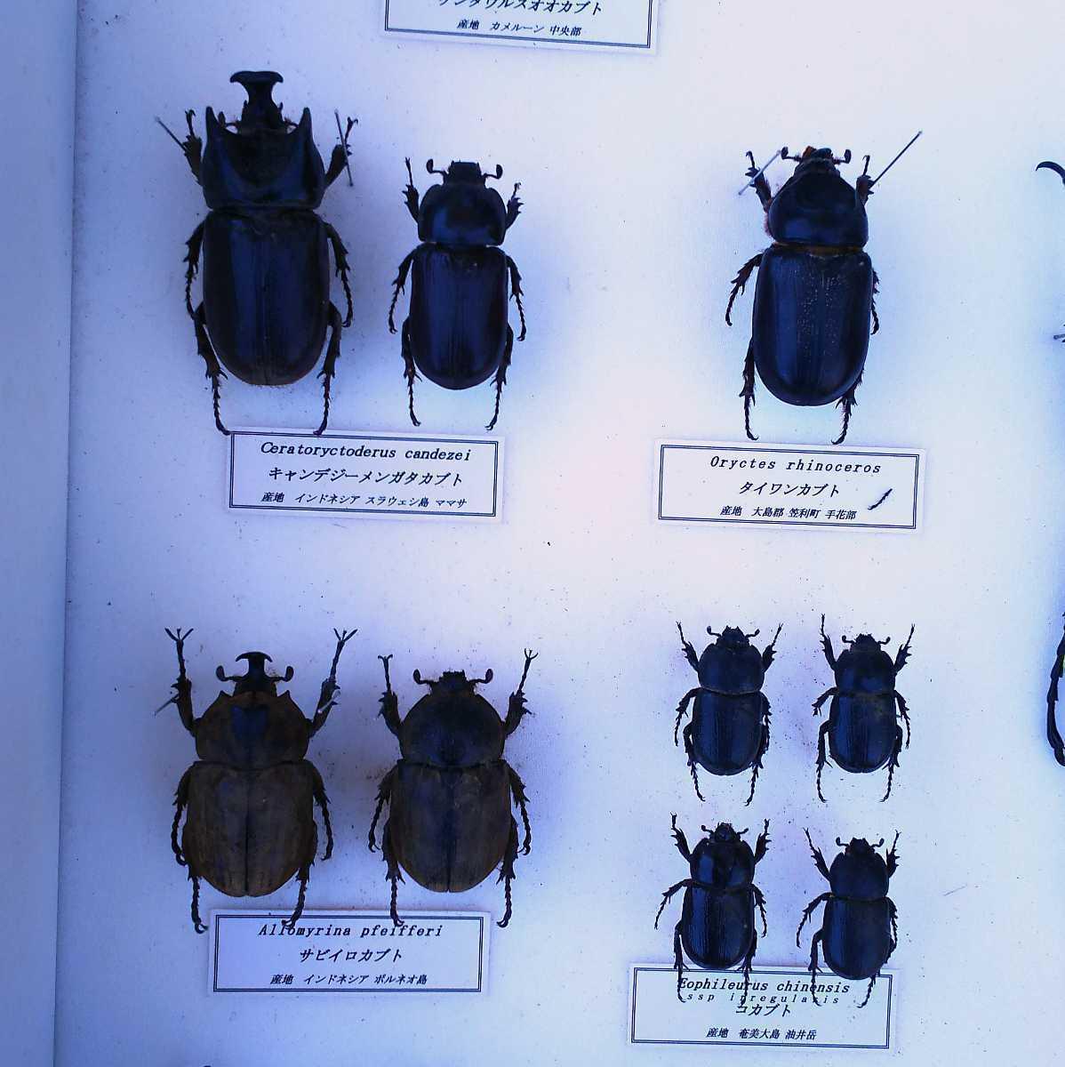 値段交渉OK 昆虫標本 カブトムシ 31頭 ドイツ箱_画像5