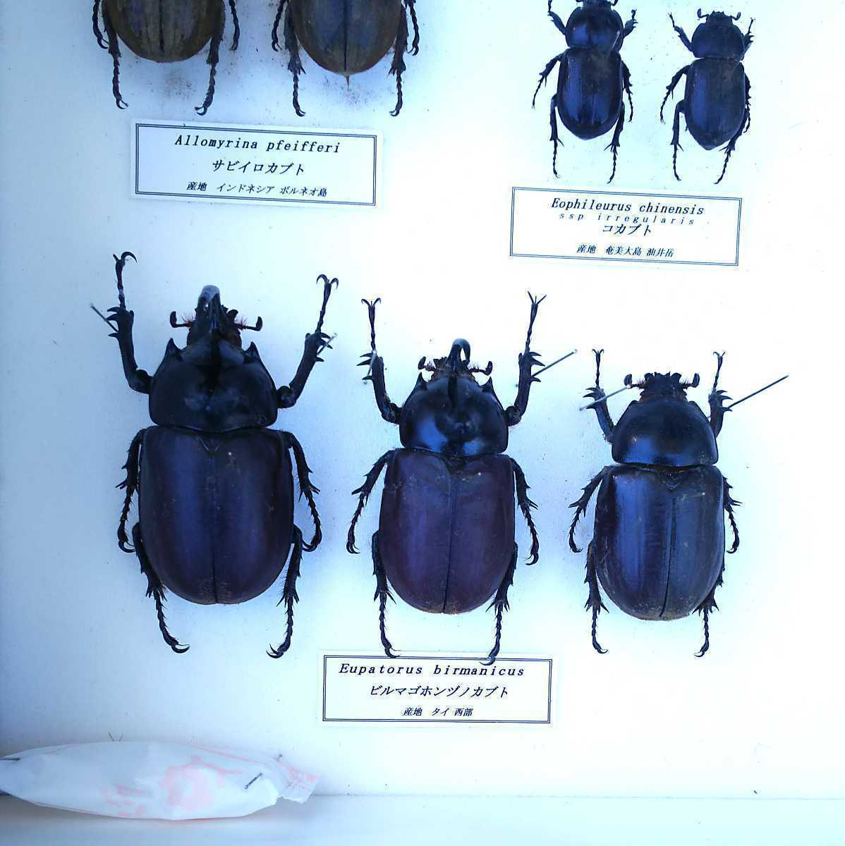 値段交渉OK 昆虫標本 カブトムシ 31頭 ドイツ箱_画像8