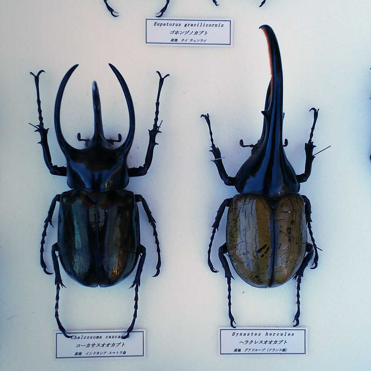 値段交渉OK 昆虫標本 カブトムシ 31頭 ドイツ箱_画像6