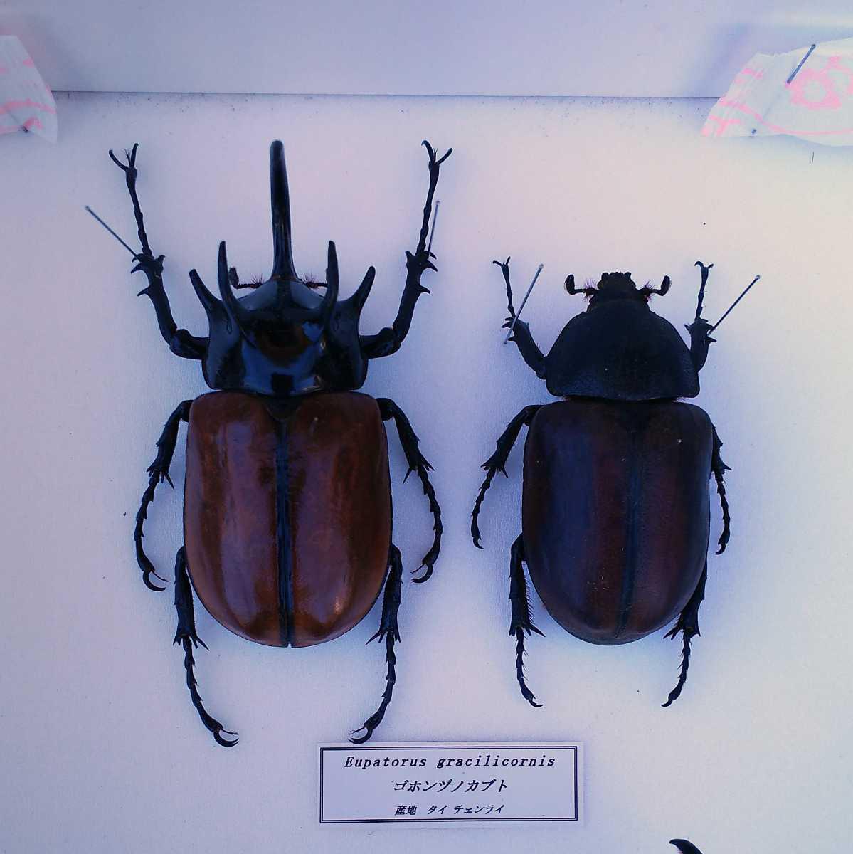 値段交渉OK 昆虫標本 カブトムシ 31頭 ドイツ箱_画像3