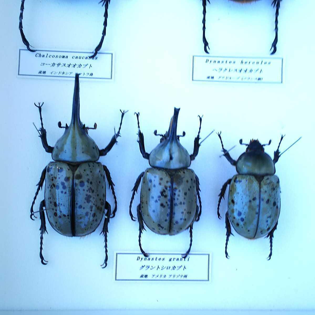 値段交渉OK 昆虫標本 カブトムシ 31頭 ドイツ箱_画像9