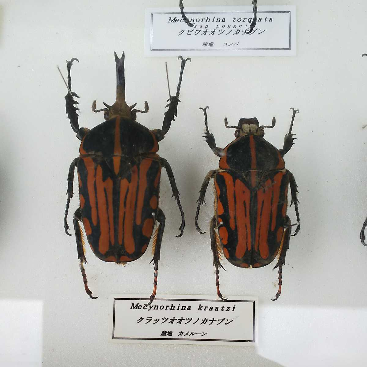 値段交渉OK 昆虫標本 カナブン No2 35頭 ドイツ箱_画像9
