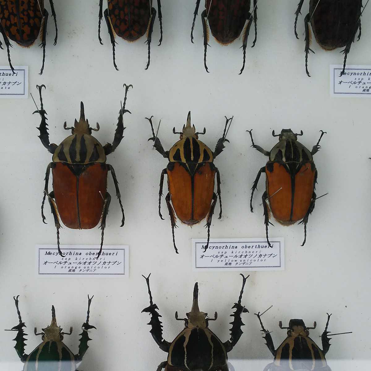 値段交渉OK 昆虫標本 カナブン No2 35頭 ドイツ箱_画像3