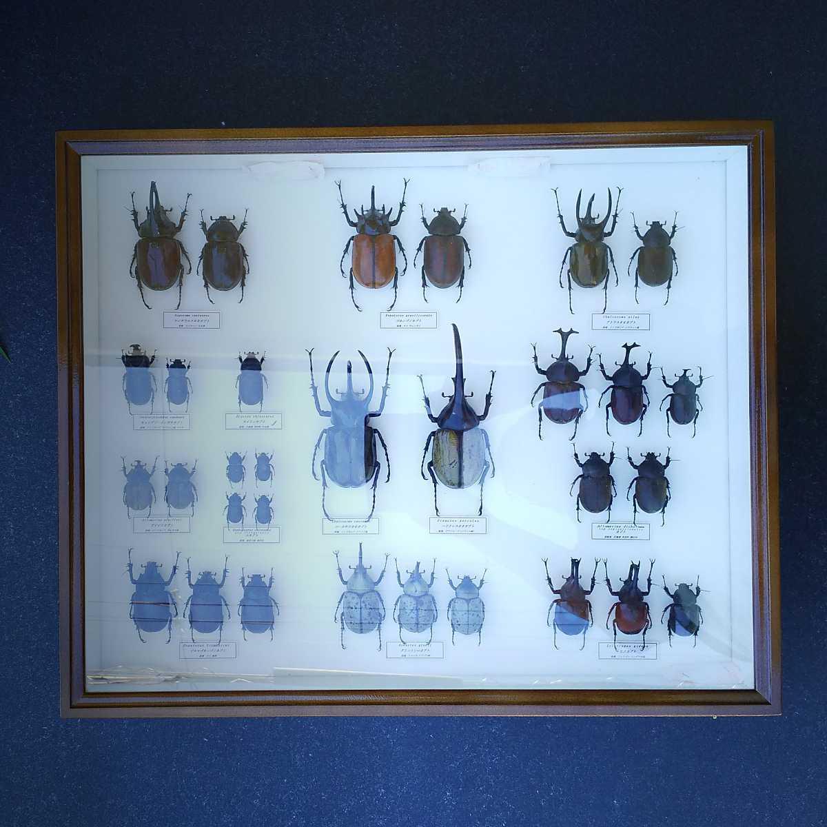 値段交渉OK 昆虫標本 カブトムシ 31頭 ドイツ箱_画像1