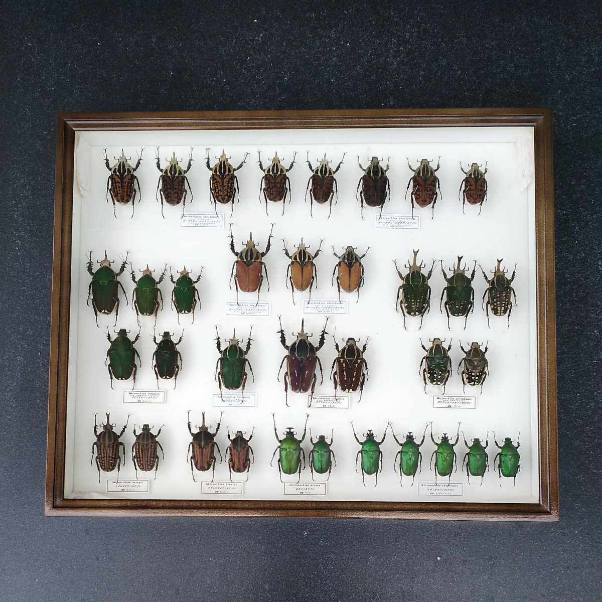値段交渉OK 昆虫標本 カナブン No2 35頭 ドイツ箱_画像1