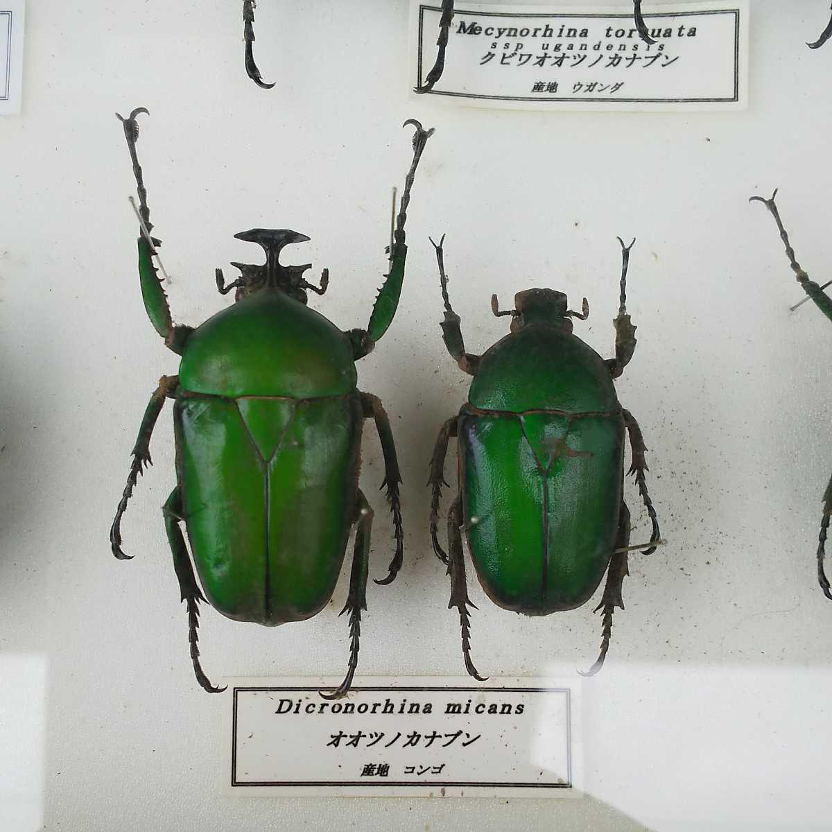 値段交渉OK 昆虫標本 カナブン No2 35頭 ドイツ箱_画像10