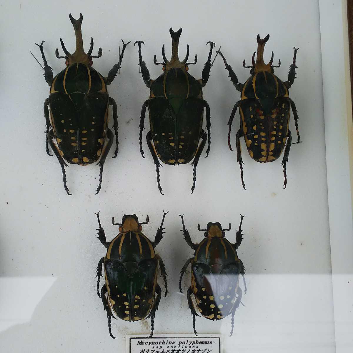 値段交渉OK 昆虫標本 カナブン No2 35頭 ドイツ箱_画像5