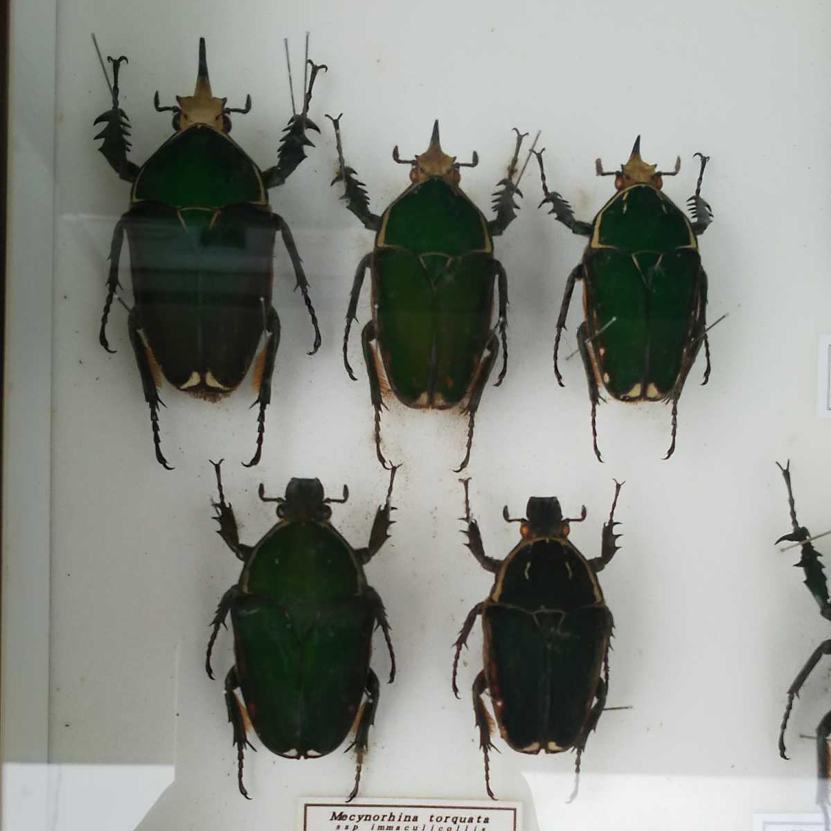 値段交渉OK 昆虫標本 カナブン No2 35頭 ドイツ箱_画像4
