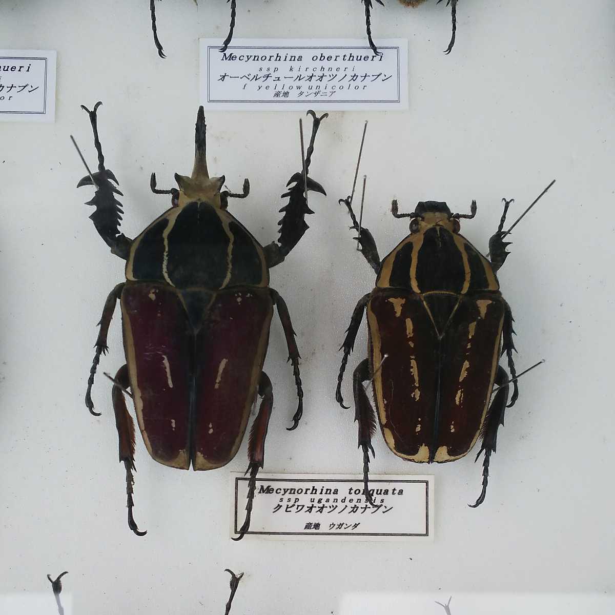 値段交渉OK 昆虫標本 カナブン No2 35頭 ドイツ箱_画像7