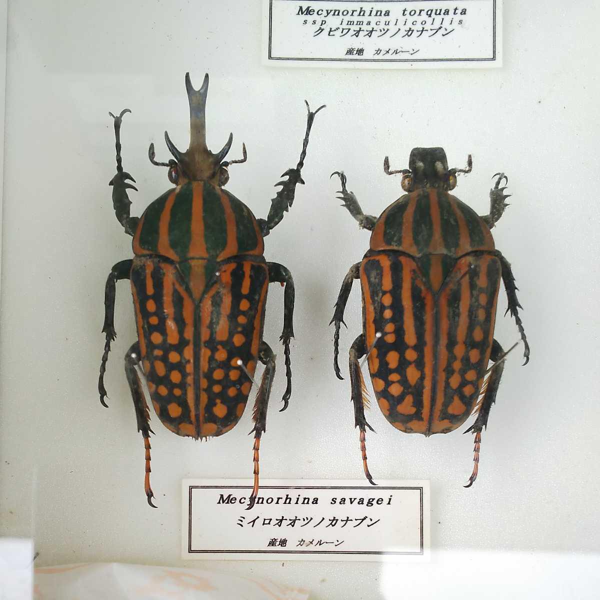 値段交渉OK 昆虫標本 カナブン No2 35頭 ドイツ箱_画像8