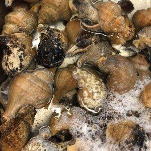 活磯ツブ貝 殻付き 約500g _画像1