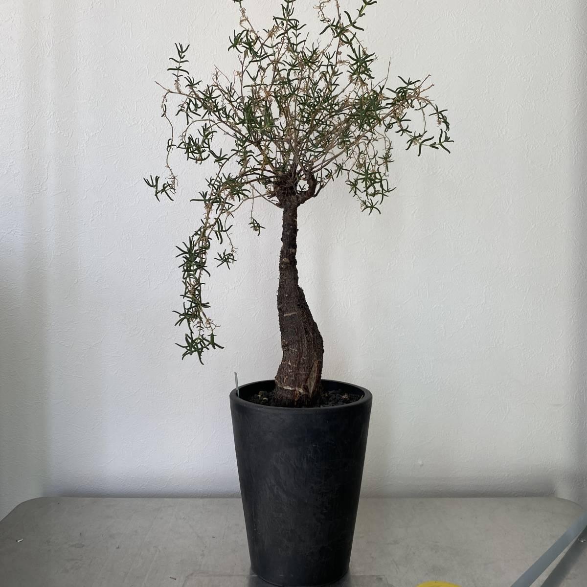 大株 2021.03.16撮影 幹幅5cm Mestoklema tuberosum メストクレマ ツベローサム 植物所有して4年以上_画像1
