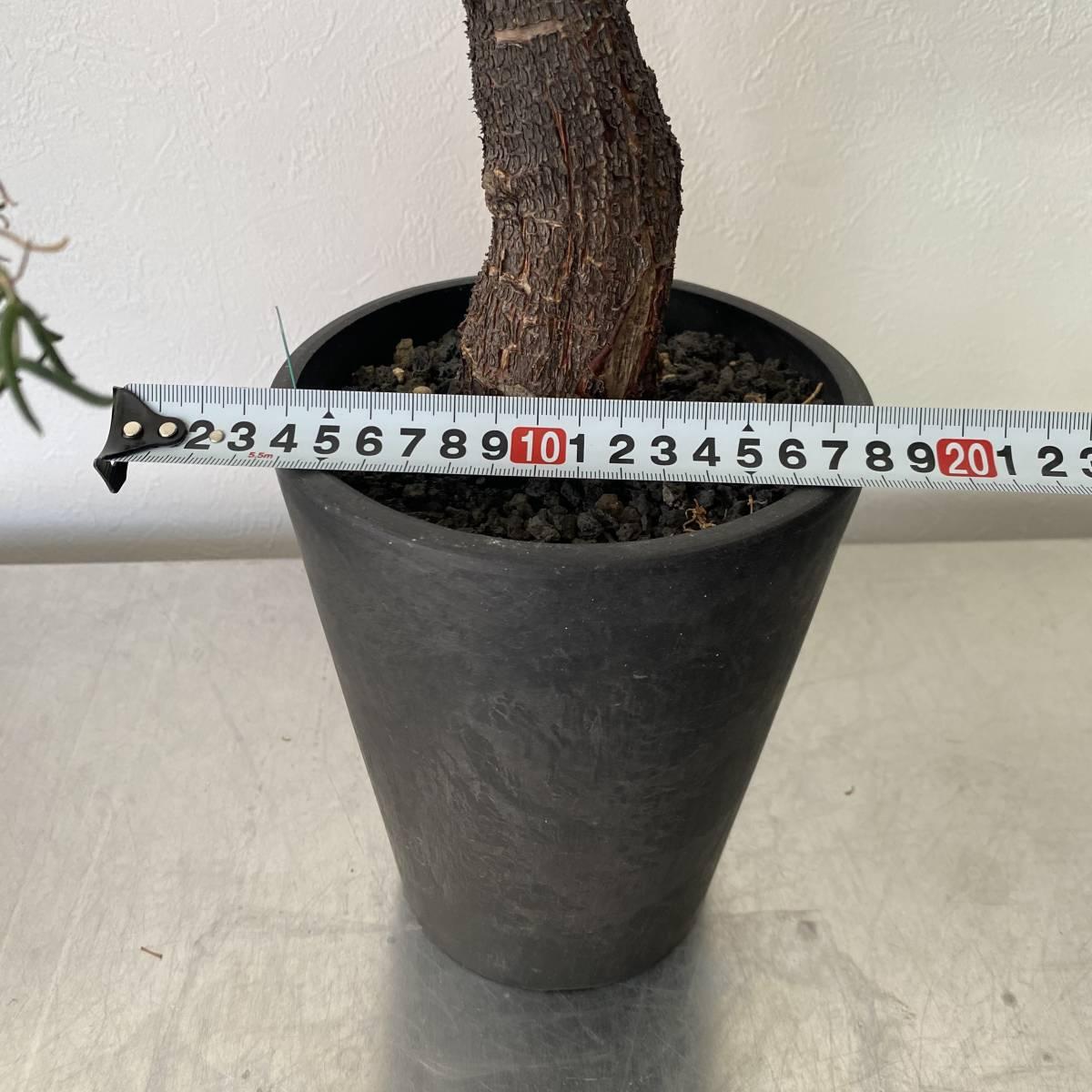 大株 2021.03.16撮影 幹幅5cm Mestoklema tuberosum メストクレマ ツベローサム 植物所有して4年以上_画像2