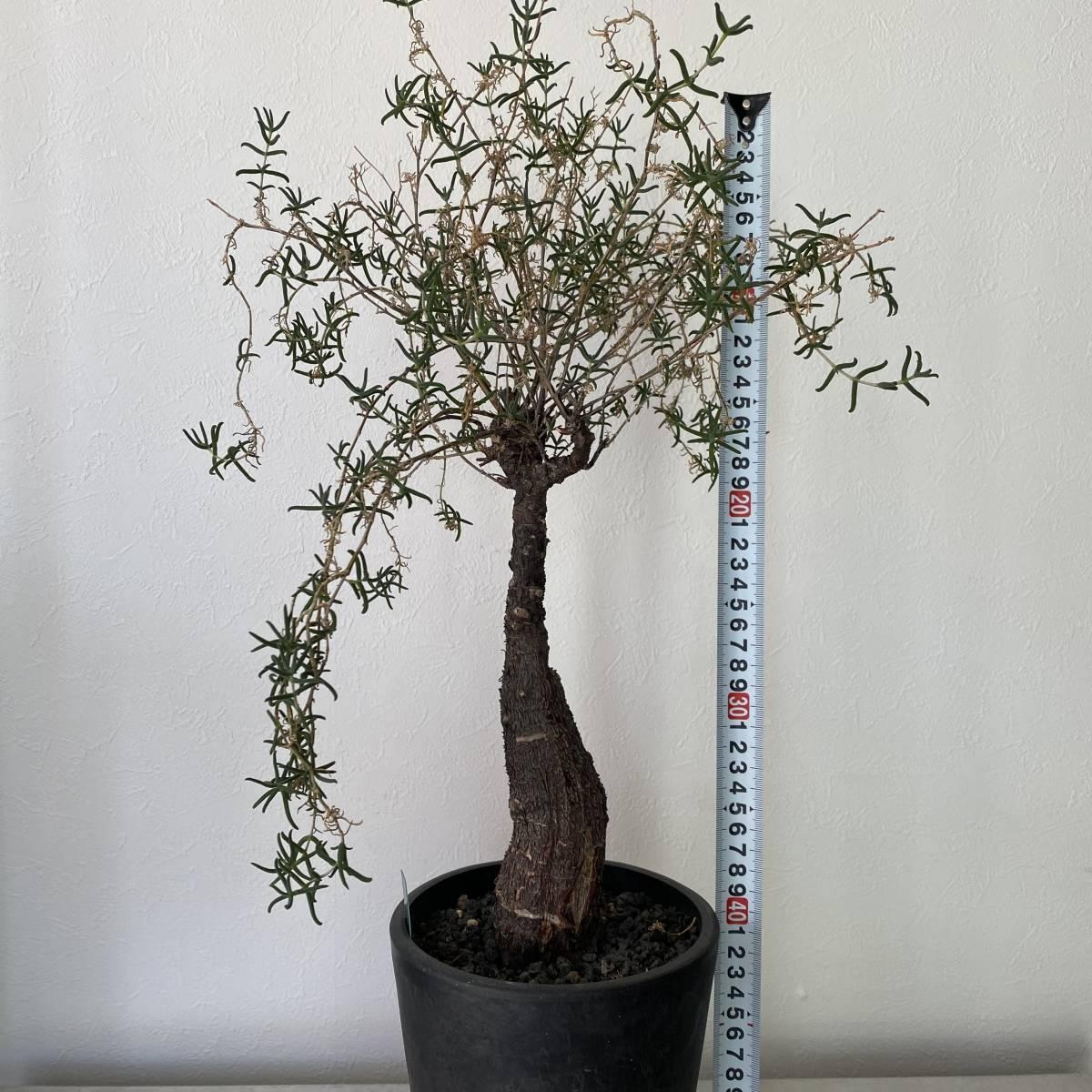大株 2021.03.16撮影 幹幅5cm Mestoklema tuberosum メストクレマ ツベローサム 植物所有して4年以上_画像3