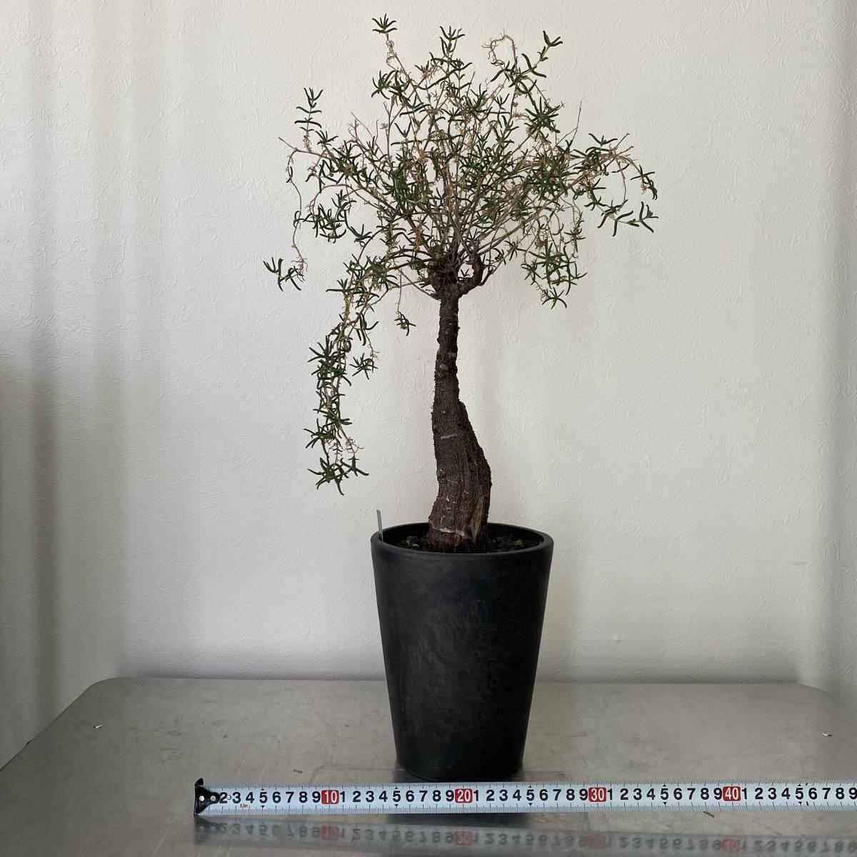 大株 2021.03.16撮影 幹幅5cm Mestoklema tuberosum メストクレマ ツベローサム 植物所有して4年以上_画像4