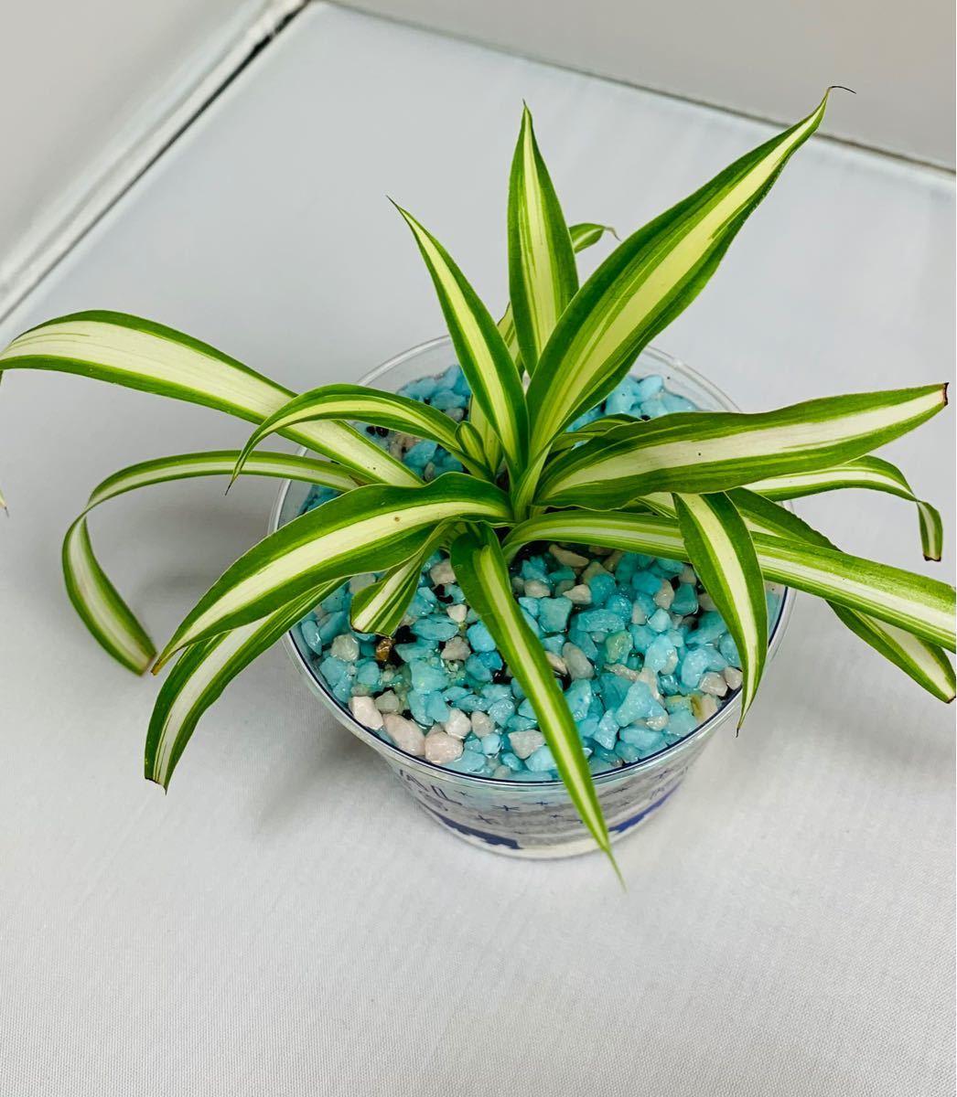 オリズルラン 観葉植物 インテリア小物