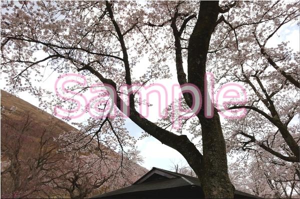 静岡伊豆の桜 花景色オリジナル写真集 46P 壁紙クリップアート素材 [著作権フリー]_画像6