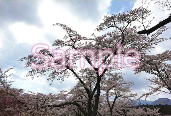 静岡伊豆の桜 花景色オリジナル写真集 46P 壁紙クリップアート素材 [著作権フリー]_画像5