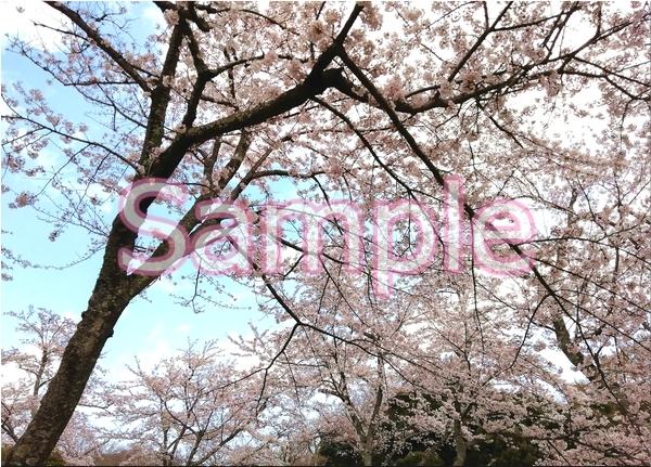 静岡伊豆の桜 花景色オリジナル写真集 46P 壁紙クリップアート素材 [著作権フリー]_画像8