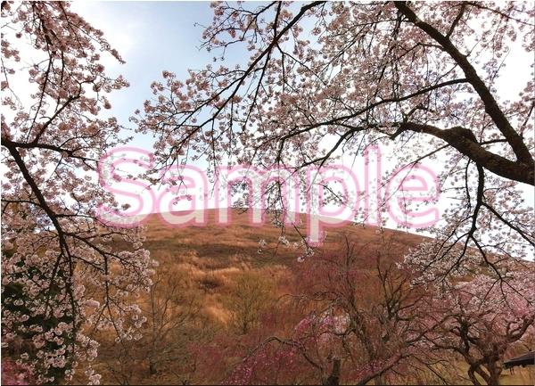 静岡伊豆の桜 花景色オリジナル写真集 46P 壁紙クリップアート素材 [著作権フリー]_画像4